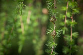 Relaxing larch greenery: closeup of European larch — Stock Photo