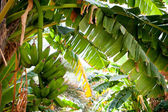 Trs banánů visící z banán strom (salalah, omán) — Stock fotografie
