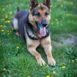 Clever German Shepherd dog  waiting for his master's command — Stock Photo