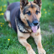 Stock Photo: Clever GermShepherd dog waiting for his master's command
