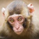 Closeup of a baby Japanese macaque (Macaca fuscata) — Fotografia Stock  #9270028