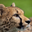 Cheetah (Acinonyx jubatus) - Stock Photo