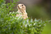 Very cute black tailed prairie dog (Cynomys ludovicianus) — Stock Photo