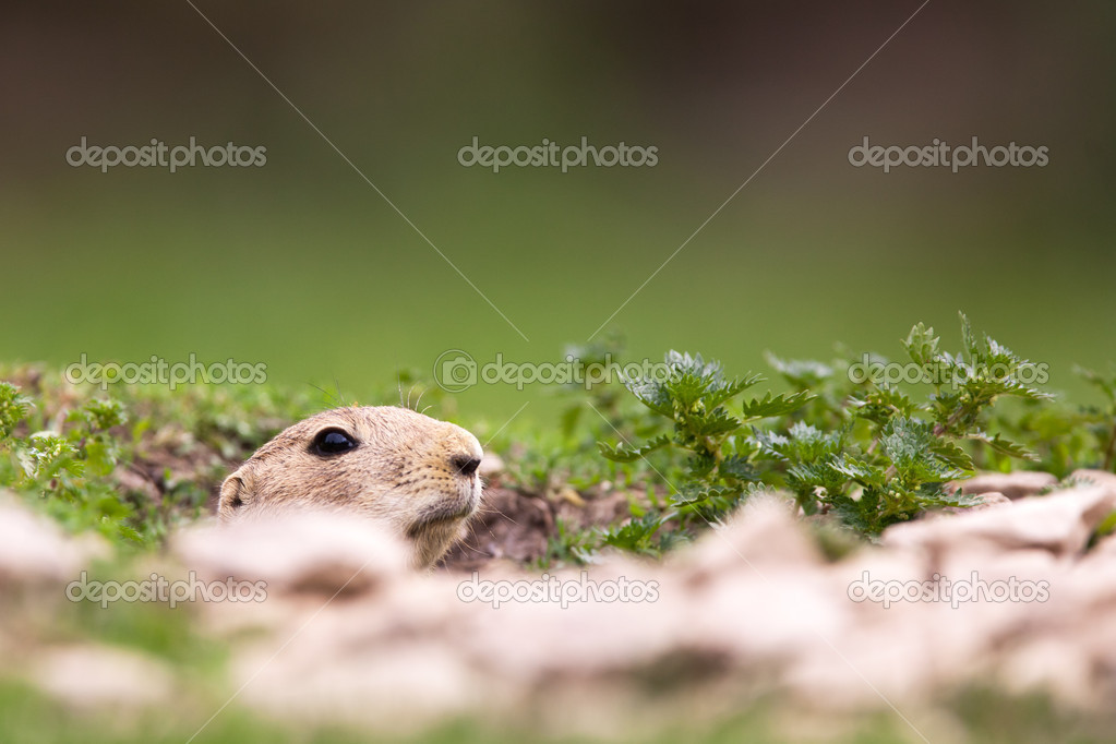 Very cute black tailed prairie dog (Cynomys ludovicianus)  Stock Photo #9388972