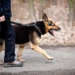 Master and his obedient (GermShepherd) dog — Stock Photo #9557356