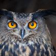 Closeup of a Eurasian Eagle-Owl (Bubo bubo) — Stock fotografie