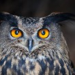 ストック写真: Closeup of a Eurasian Eagle-Owl (Bubo bubo)