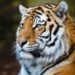 Closeup of a Siberian tiger also know as Amur tiger (Panthera ti - Stock Photo