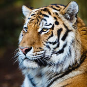 Closeup of a Siberian tiger also know as Amur tiger (Panthera ti — Foto Stock