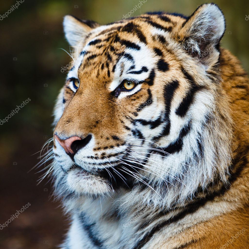 Closeup of a Siberian tiger also know as Amur tiger (Panthera tigris altaica), the largest living cat — Stock Photo #9790255