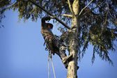 Arborist cutting tree — Stock Photo