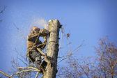 Arborist cutting tree — Stock Photo