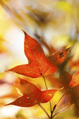 Autumn red leaves background — Stock Photo