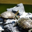 Turtles on stones — Stock Photo #9028831