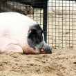 A sleepy pig — Photo
