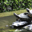 Turtles on water - Foto Stock