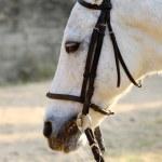 White horse close-up — Stock Photo #9128586