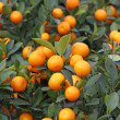 Mandarine orange tree for celebrating Chinese New Year — Foto de Stock