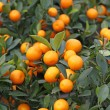 Mandarine orange tree for celebrating Chinese New Year — Stock fotografie