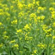 Rape flowers close up shot — Stock Photo #9129497