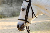 White horse close-up — Stock Photo