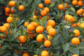 Mandarine orange tree for celebrating Chinese New Year — Stock Photo