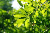 Fresh leaves in spring time — Stock Photo