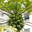 Papaya trees — Stock Photo