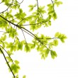 Green leaves white background — Stock Photo #9261560