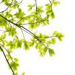 Green leaves white background — Stock Photo