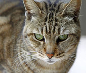 Cat with sharp eyesight looking for food — Stock Photo