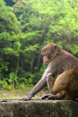 Monkey in forest — Stock Photo