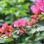 Azelea flowers background — Stock Photo #9670080