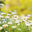 Field of daisies and sun — Stock Photo