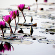 Lotus pond in winter - Stock Photo