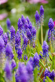 Grape hyacinth with bee in spring — Stock Photo