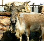 Smiling goat — Stock Photo
