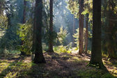 Old coniferous stand of Bialowieza Forest in summer morning — Stock Photo