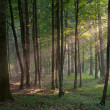 Sunbeam entering rich deciduous forest in misty evening — Stock Photo