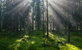 Sunbeam entering pruce coniferous stand — Stock Photo