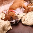 Dog sofa sleep — Stock Photo #9973553
