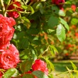 Stock Photo: Rose garden roses park