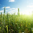 Field of rye and sunny day — Stock Photo
