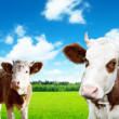 Cows on field of spring grass — Stock Photo
