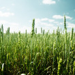 Field of rye and sunny day — Stockfoto