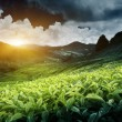 Tea plantation — Stock Photo #10282248