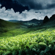 Tea plantation - Stock Photo