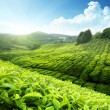 Tea plantation Cameron highlands, Malaysia — Stock Photo #8444348