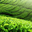 Foto de Stock  : Tea plantation Cameron highlands, Malaysia