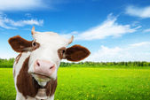 Cow and field of fresh grass — Stock Photo